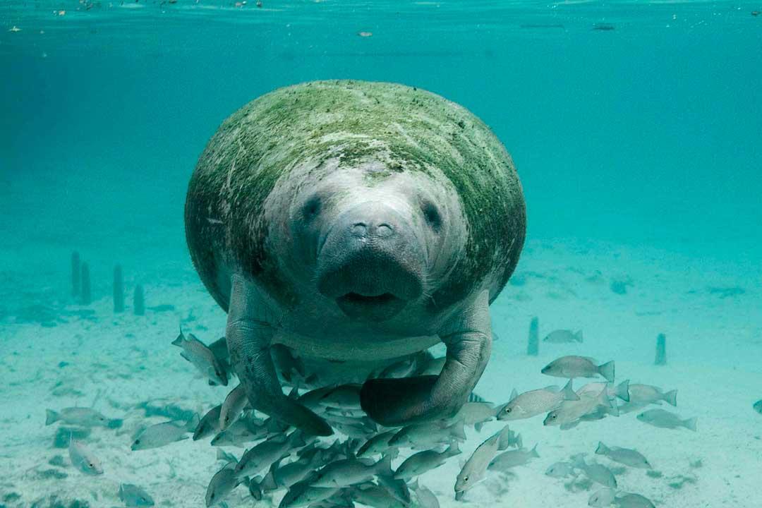 maniti-especie-marina-peligro-extincion