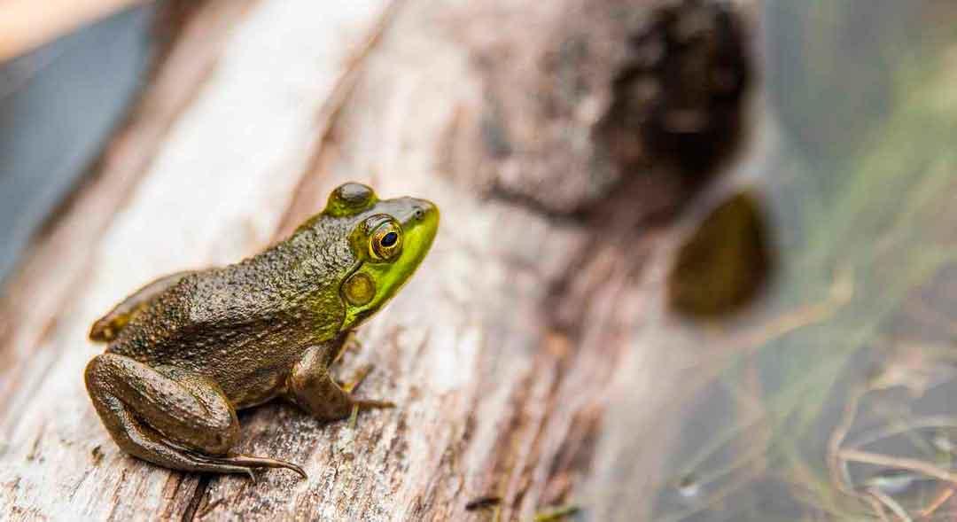 Los anfibios pueden respirar a través de la piel