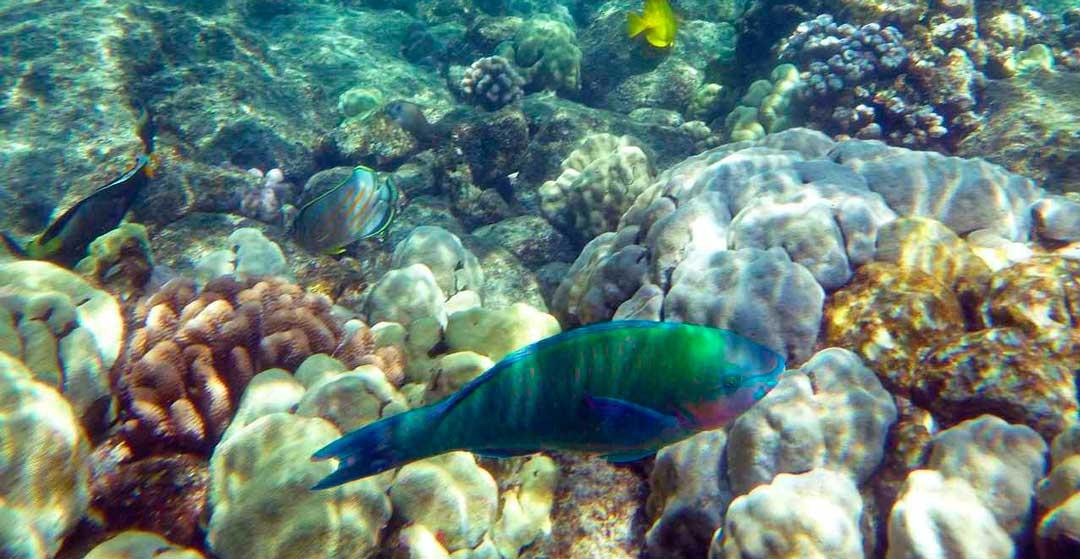 Pez arco iris de agua dulce