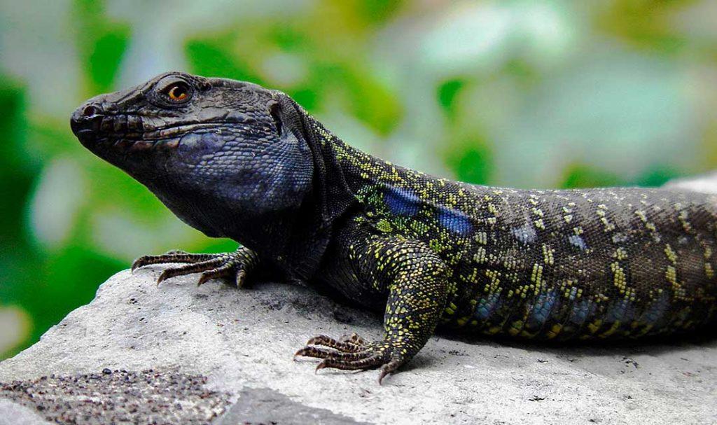 El lagarto canario o lagarto canarión