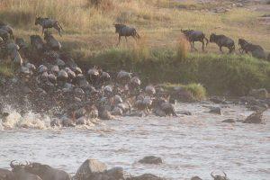 Por que migran los ñus? Por los pastos