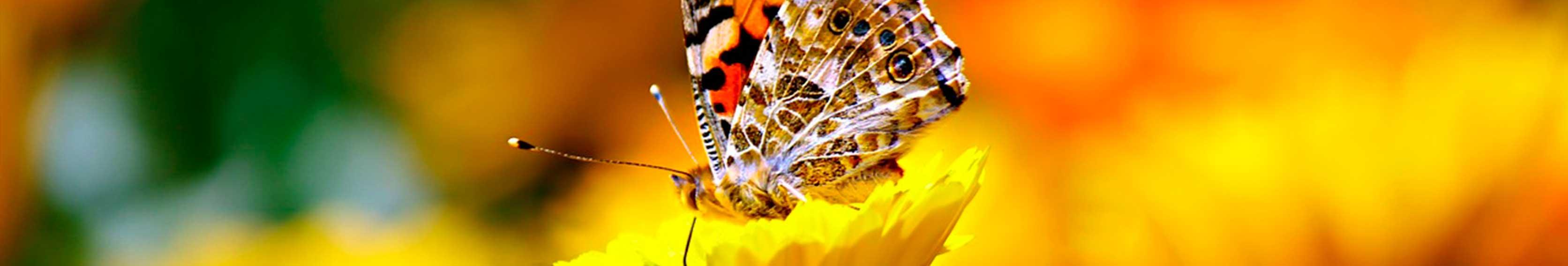 Tipos de mariposas que habitan en Canarias