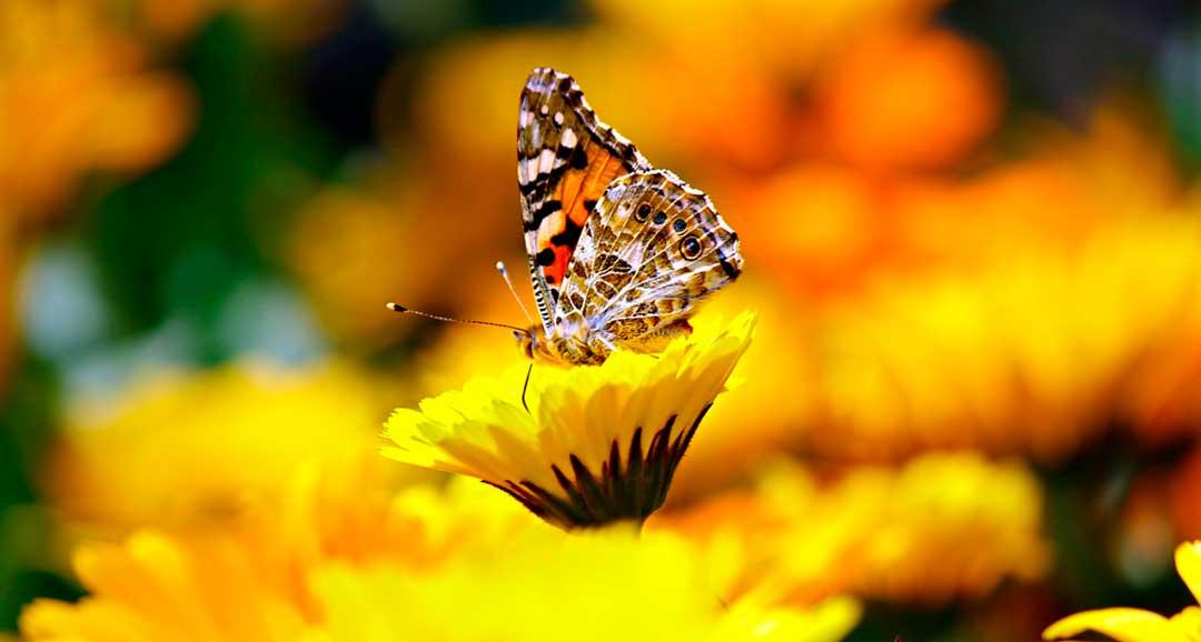 Mariposa típica de canarias