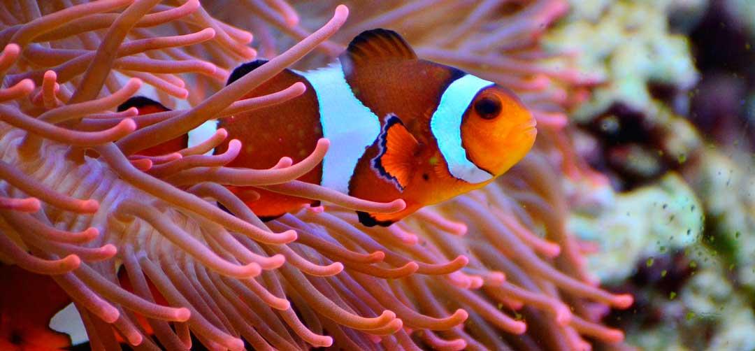 La relación entre el pez payaso y la anemona