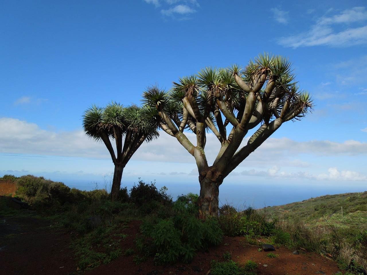EL Drago es un árbol típico de Gran Canaria