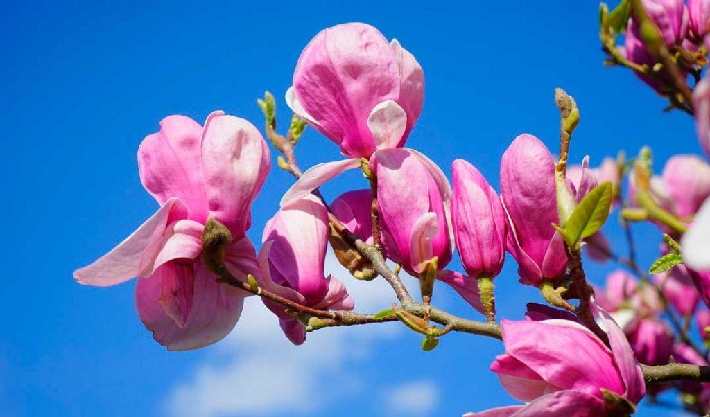 Magnolias, plantas de reproducción sexual