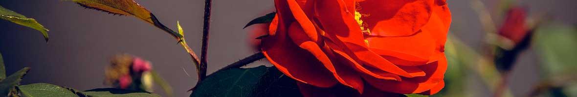 Ejemplos de plantas que se reproducen sexualmente wikipedia