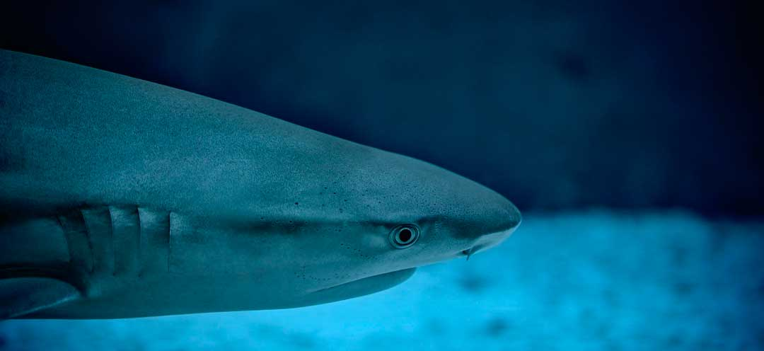 Un tiburón marrajo en aguas de Gran Canaria