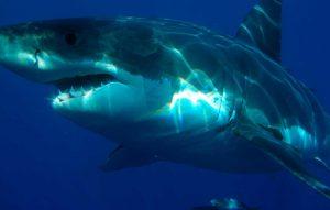 Especie muy difícil de ver en Gran Canaria el tiburón blanco